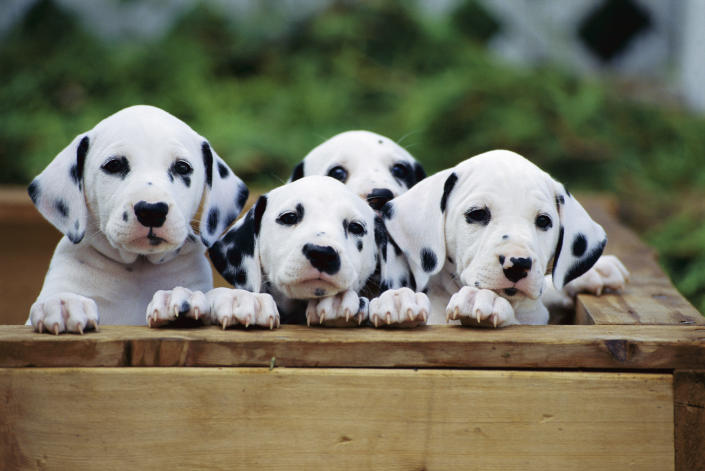 Dalmatians (Canis familiaris), group of puppies looking out of whelping box