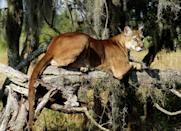 <p><strong>Florida Panther - </strong>Habitat fragmentation in South Florida is one of the main threats to the Puma concolor couguar. With only an estimated population of 130, this majestic species is critically endangered and almost near extinction. </p>