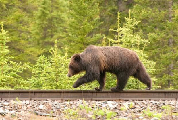 A grizzly bear walks along a railway track in this photo from Parks Canada. According to ecologists, plans to double Canmore's population pose a major threat to keystone species, such as grizzly bears and wolves