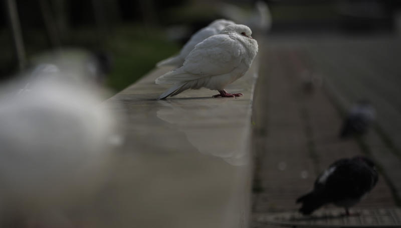 Pigeons rest at a park in Shanghai, China Wednesday, April 10, 2013. China says two more people have died of a new strain of bird flu, bringing the death toll to nine. (AP Photo/Eugene Hoshiko)