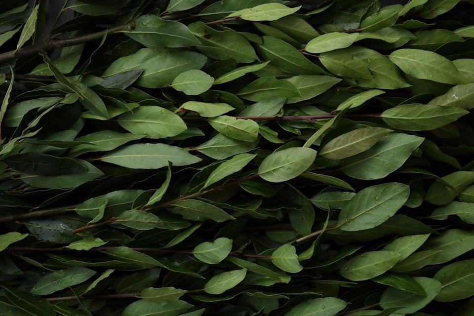 <p>Bay laurel, also known as <em>laurus nobilis</em>, is an evergreen herb often used in soups and stews. It is best to dry the leaves, as the strongest flavor is only produced several weeks after picking. Its native home is the Mediterranean, and it is steeped in Greek and Roman history as a symbol of wealth and prosperity.</p>