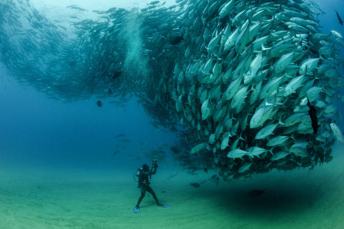 PIC BY OCTAVIO ABURTO / CATERS NEWS - (PICTURED The school of fish gather in front of diver David Castro with his camera) - Smile - its the school photo! This is the hilarious moment a marine photographer managed to capture hundreds of wide-eyed fish apparently posing for a picture. Californian photographer and conservationist Octavio Aburto had spent years photographing the school in Cabo Pulmo National Park, Mexico - and had been trying to capture this exact shot for three years. The Bigeye travellies fish gather in their thousands in the oceans during courtship.