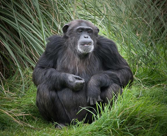 Apes Have Midlife Crises, Too