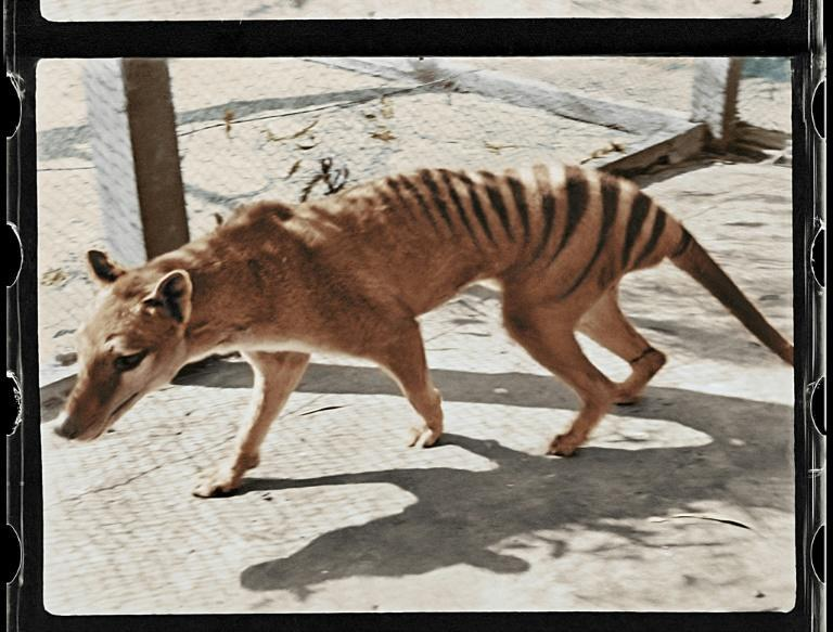 Century-old footage of the last known Tasmanian tiger in captivity has been brought to life by colourisation (AFP/Handout)