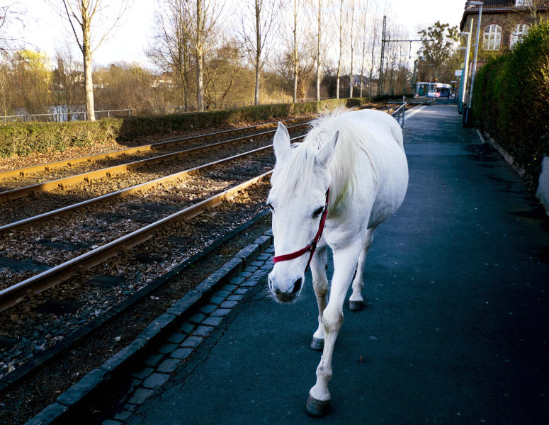 FILE-In this March 8, 2019 file photo 22-year-old Arabian mare Jenny walks home from her daily tour in the surroundings of Frankfurt, Germany. Jenny's owner opens the stable door for the horse every morning and the animal decides for itself where she wants to spend the day. (AP Photo/Michael Probst)