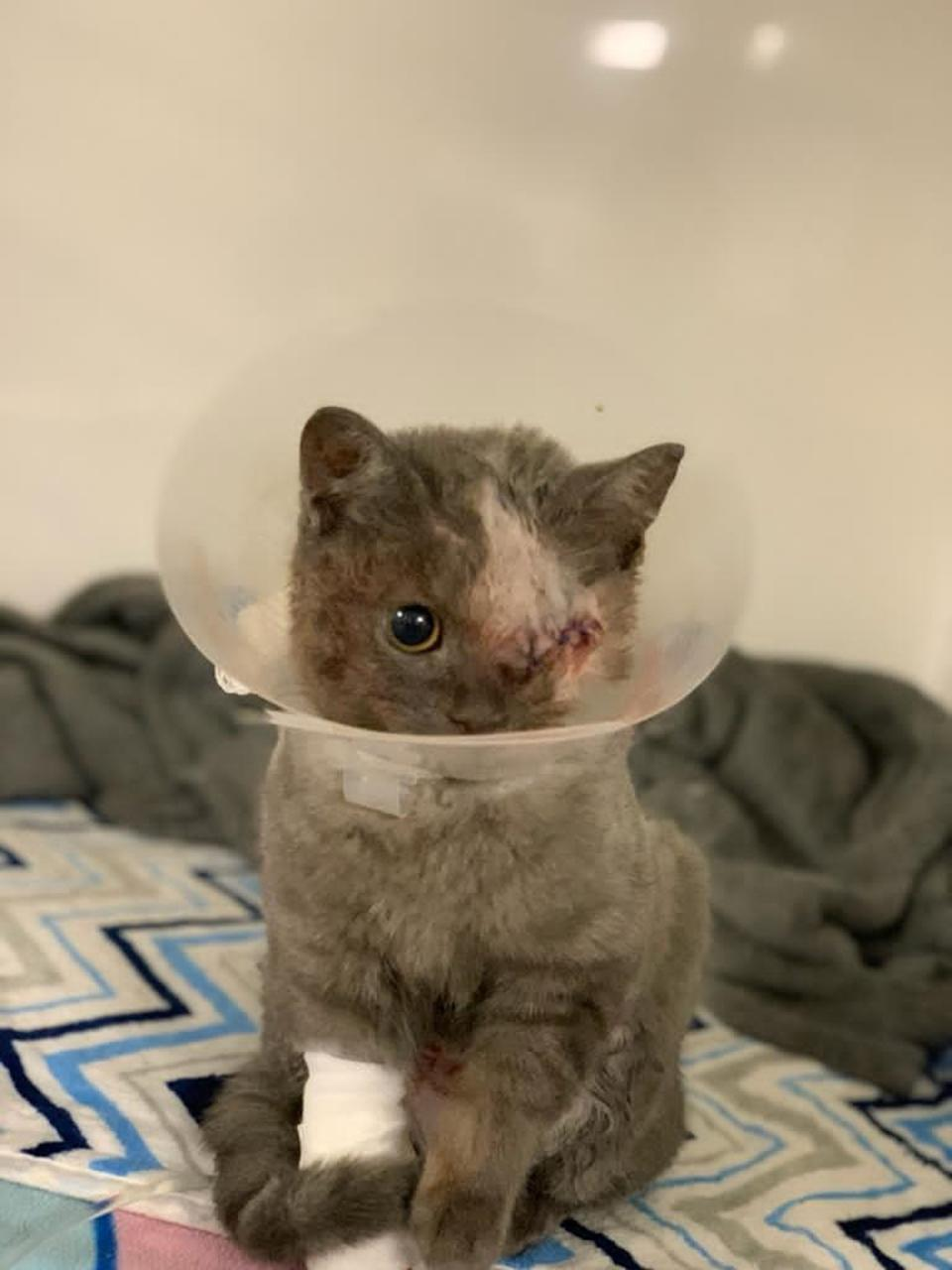 Eyela, a cat found in London, required treatment for burn wounds among other things