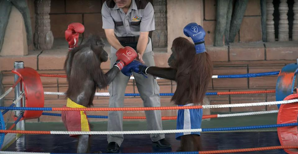 Orangutans forced to fight each other at Phnom Penh Safari to entertain the public. Source: Newsflash/Australscope