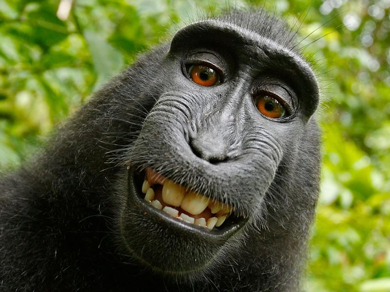 The famous grinning selfie taken by Naruto: David J Slater/Caters News Agency