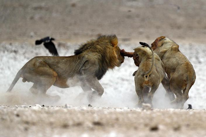 Three male lions fight over the remains of a springbok after a kill at the Nebrowni water hole in Etosha National Park in Namibia. The male on the right came away with a prized antelope dinner, only to lose the next battle. (Photo: Gordon Donovan/Yahoo News)