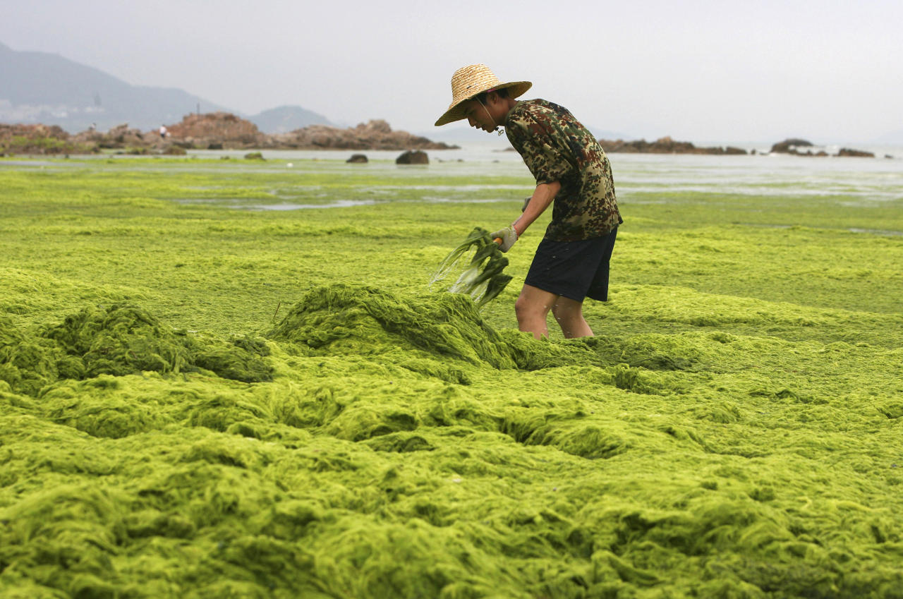 A paramilitary policeman clears algae along the coastline of Qingdao, Shandong province, July 4, 2008. REUTERS/Stringer
