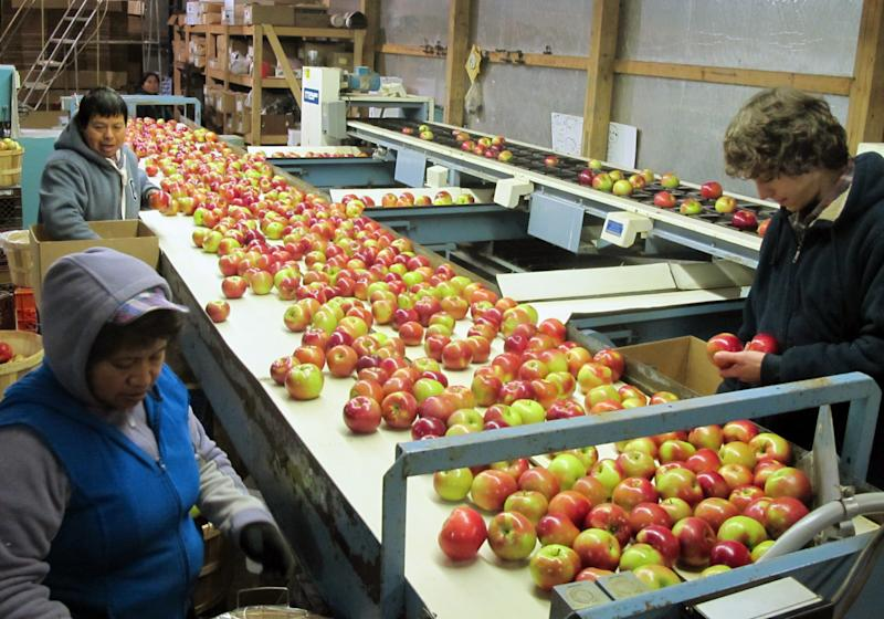 In this Nov. 7, 2013 photo workers at King Orchards in Central Lake, Mich., prepare apples for shipment to markets in Detroit and elsewhere. Michigan enjoyed a bumper apple crop this year, rebounding from a disappointing 2012. (AP Photo/John Flesher)