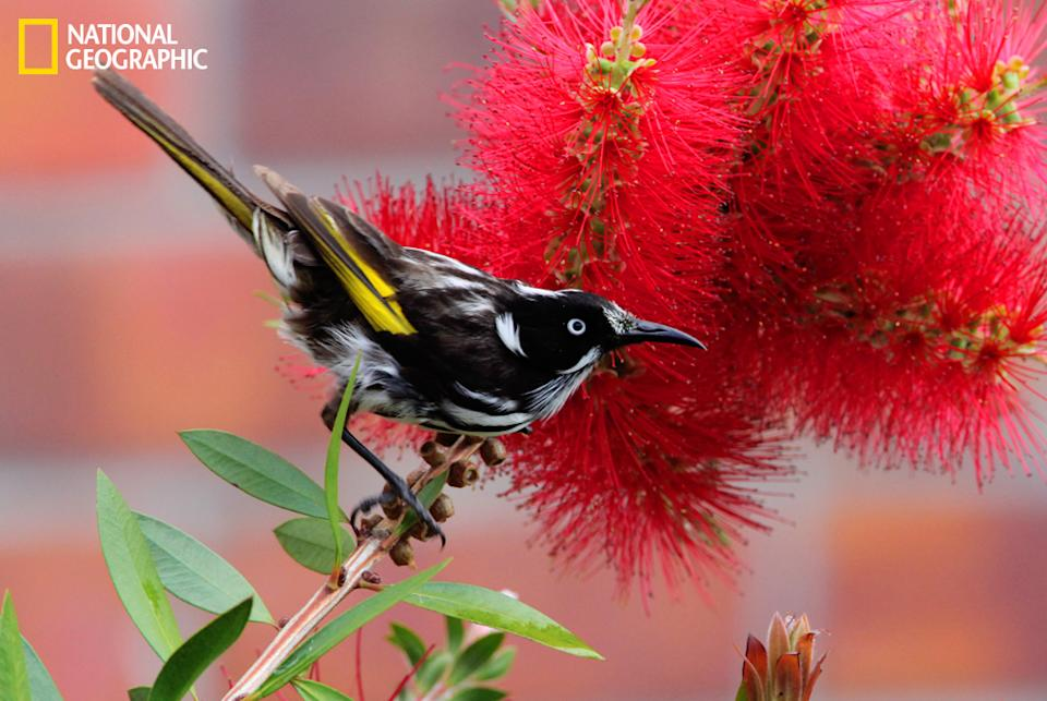 """The New Holland honeyeater (Phylidonyris novaehollandiae) is a honeyeater species found throughout southern Australia. (Photo and caption Courtesy Gordon Fellows / National Geographic Your Shot) <br> <br> <a href=""""http://ngm.nationalgeographic.com/your-shot/weekly-wrapper"""" rel=""""nofollow noopener"""" target=""""_blank"""" data-ylk=""""slk:Click here"""" class=""""link rapid-noclick-resp"""">Click here</a> for more photos from National Geographic Your Shot."""