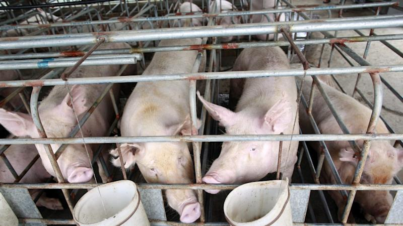 China on alert for African swine fever virus but will it hit its pig industry?