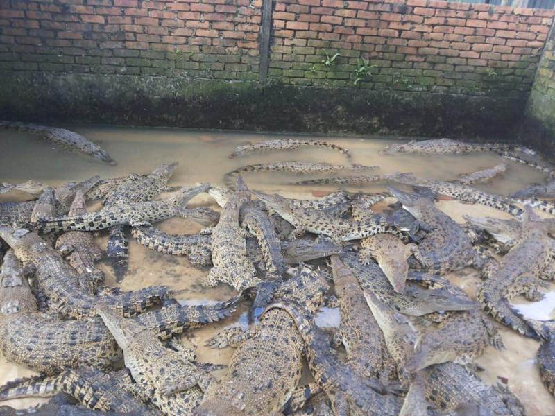 Crocodiles kept at a farm in Kampung Kibambangan in Sabah which has been criticised for unsanitary and unsafe practices. — Picture courtesy of Danau Girang Field Centre