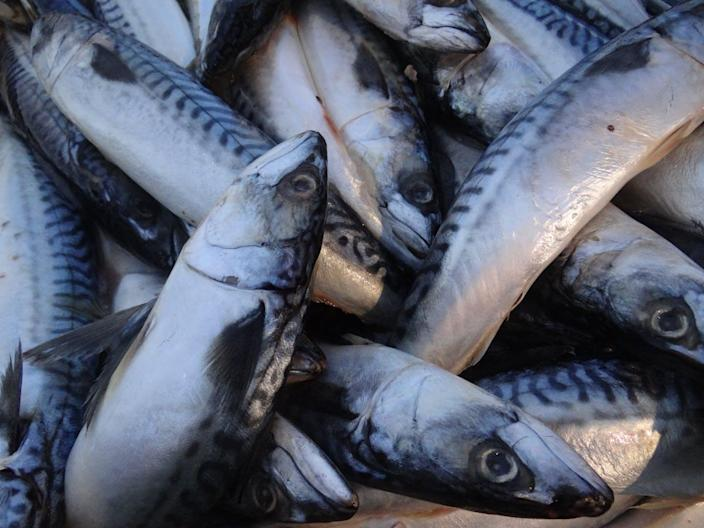 """<span class=""""caption"""">Researchers use Atlantic mackerel for bait on long-lining fishing sampling expeditions in the Gulf of Mexico..</span> <span class=""""attribution""""><a class=""""link rapid-noclick-resp"""" href=""""https://flic.kr/p/y87FdG"""" rel=""""nofollow noopener"""" target=""""_blank"""" data-ylk=""""slk:C-IMAGE Consortium"""">C-IMAGE Consortium</a>, <a class=""""link rapid-noclick-resp"""" href=""""http://creativecommons.org/licenses/by-nd/4.0/"""" rel=""""nofollow noopener"""" target=""""_blank"""" data-ylk=""""slk:CC BY-ND"""">CC BY-ND</a></span>"""