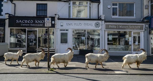 A herd of goats taking advantage of quiet streets near Trinity Square, in Llandudno