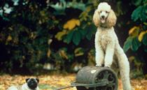 <p>Roly, a standard poodle, was the pub dog at the Queen Vic, owned by Den and Angie Watts, and then later adopted by their daughter Sharon (Letitia Dean). He was a contentious part of Den and Angie's divorce, and had more than his fair share of brushes with death, including being savaged by the 'Walford Ripper'. After he landed the role, he was made property of the BBC, given an official BBC ID card, and eventually went to live with show-creator Julia Smith. He died in 1995.</p>