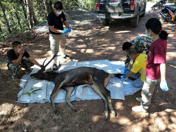 PHOTO: Thai forest rangers examine a dead deer found at Khun Sathan National Park in the north province of Phrae, Thailand, Nov. 25, 2019. (Thailand'•s Department of National Parks, Wildlife and Plant Conservation/Handout via Reuters)