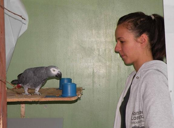 Experimenter Judith Schmidt works with an African Grey parrot.