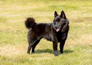 """<p>This <a href=""""https://www.akc.org/dog-breeds/schipperke/"""" rel=""""nofollow noopener"""" target=""""_blank"""" data-ylk=""""slk:dog's nickname is &quot;little captain,&quot;"""" class=""""link rapid-noclick-resp"""">dog's nickname is """"little captain,"""" </a>according to the AKC. They weigh between 10 and 16 pounds, likely in part due to the weight of their fluffy black fur.</p>"""