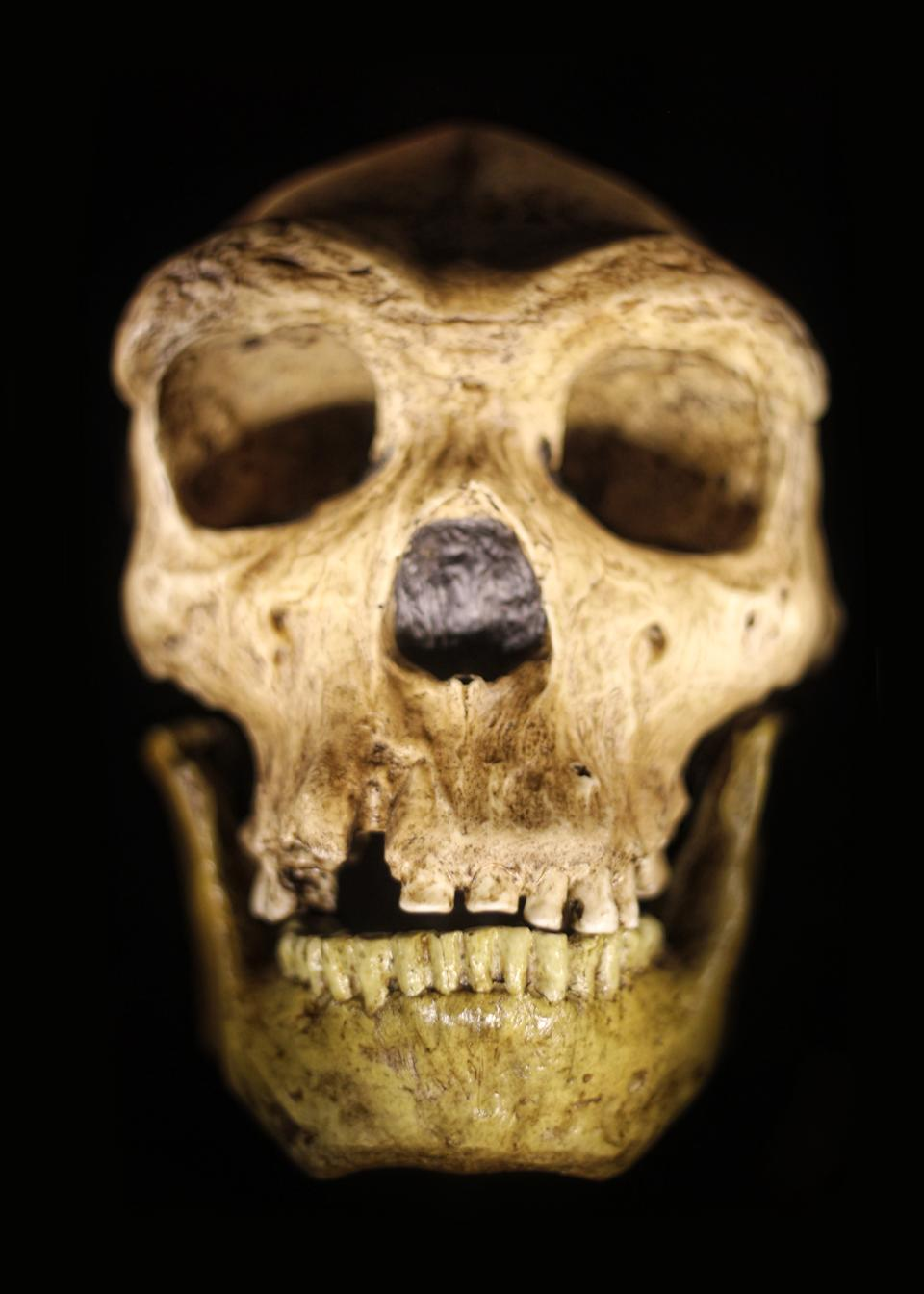 This photo was taken on a trip to an archaeology lab. This is a direct cast from a reconstructed Neanderthal skull. It's been lighted for dramatic effect and shot on a black background. This skull is not a sculpture, nor is it a commercial item or product, and is not copyrighted.