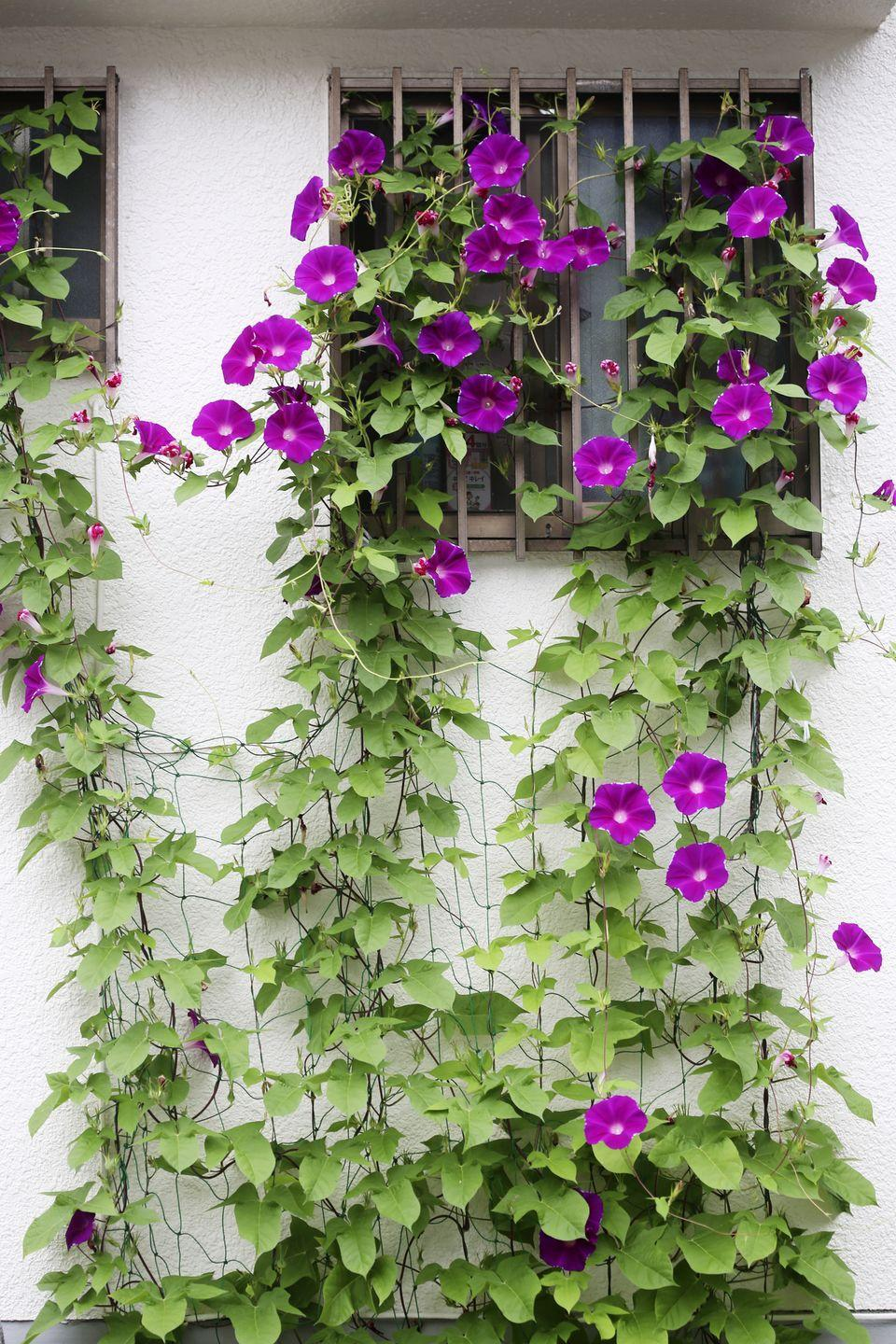 """<p>Morning glories live up to their name, opening in the morning sunshine. They grow quickly from seed. Pick off the dried seeds after they bloom if you don't want them to self-sow next year.</p><p><a class=""""link rapid-noclick-resp"""" href=""""https://go.redirectingat.com?id=74968X1596630&url=https%3A%2F%2Fwww.burpee.com%2Fflowers%2Fmorning-glories%2Fmorning-glory-heavenly-blue-prod000284.html&sref=https%3A%2F%2Fwww.countryliving.com%2Fgardening%2Fgarden-ideas%2Fadvice%2Fg1456%2Ffast-growing-vines%2F"""" rel=""""nofollow noopener"""" target=""""_blank"""" data-ylk=""""slk:SHOP MORNING GLORY SEEDS"""">SHOP MORNING GLORY SEEDS</a></p>"""