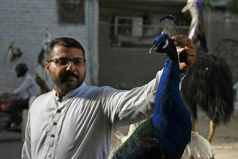 Hafiz Mohammad Fahim decided to stuff his family's pet peacock following his sudden death after seven years of bringing joy to his children