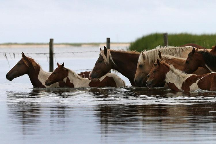 Wild ponies cross a small creek after being rounded up to be herded to a holding pen before making next weeks annual swim across the Assateague Channel to Chincoteague Island, on July 21, 2012 in Assateague Island, Virginia. Each year the wild ponies are auctioned off by the Chincoteague Volunteer Fire Company. (Photo by Mark Wilson/Getty Images)