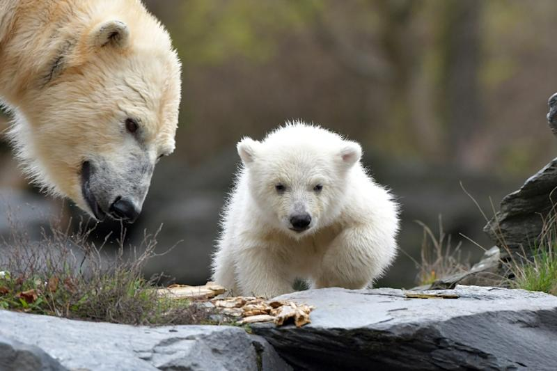 The three and a half month old polar bear still has not been named (AFP Photo/Paul Zinken)