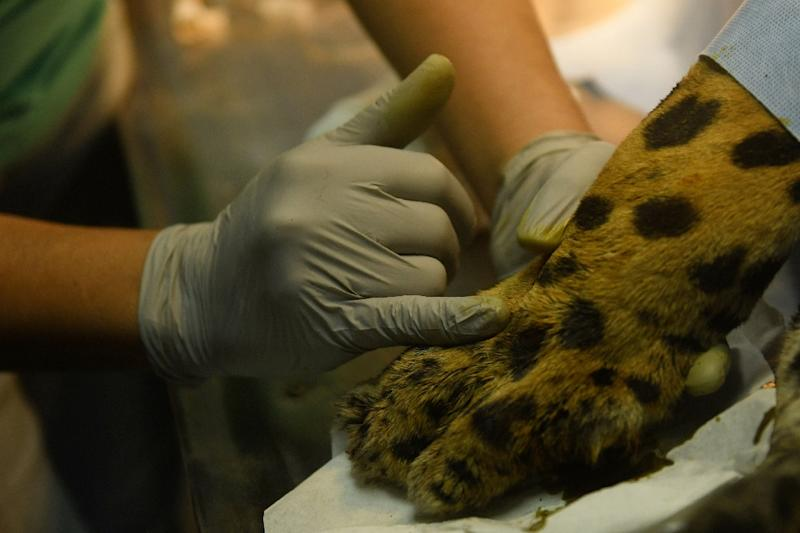 Greco the jaguar is treated for infection and inflammation of the bone at the National Zoo in El Salvador (AFP Photo/Marvin RECINOS)