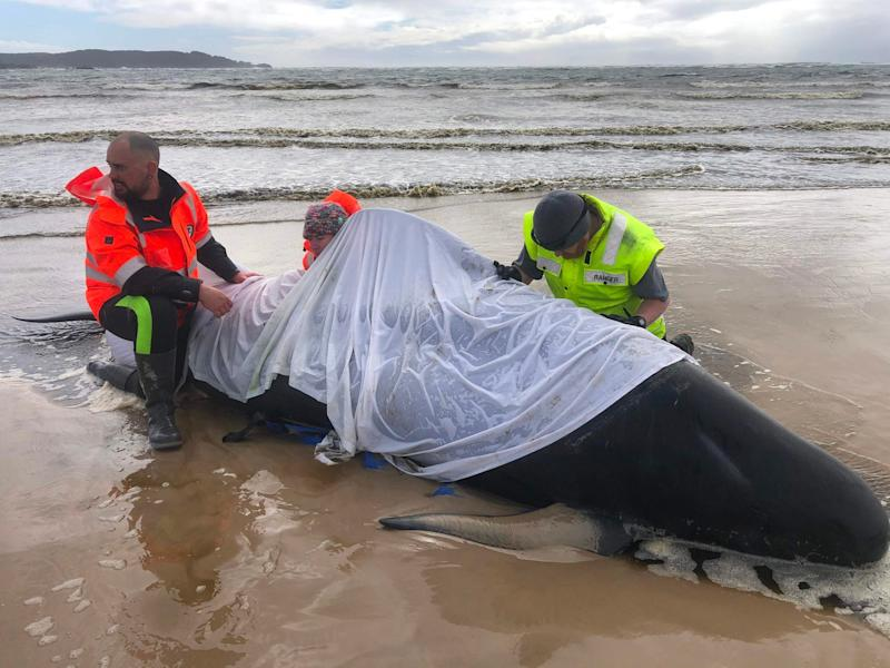 People helping a whale in Macquarie Harbour on the rugged west coast of Tasmania (TASMANIA POLICE/AFP via Getty Im)