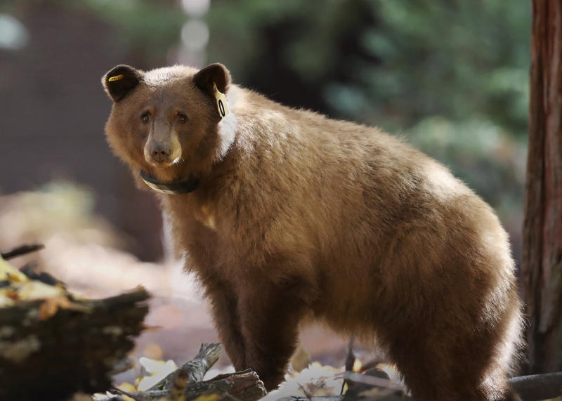 Online bear tracker in the works