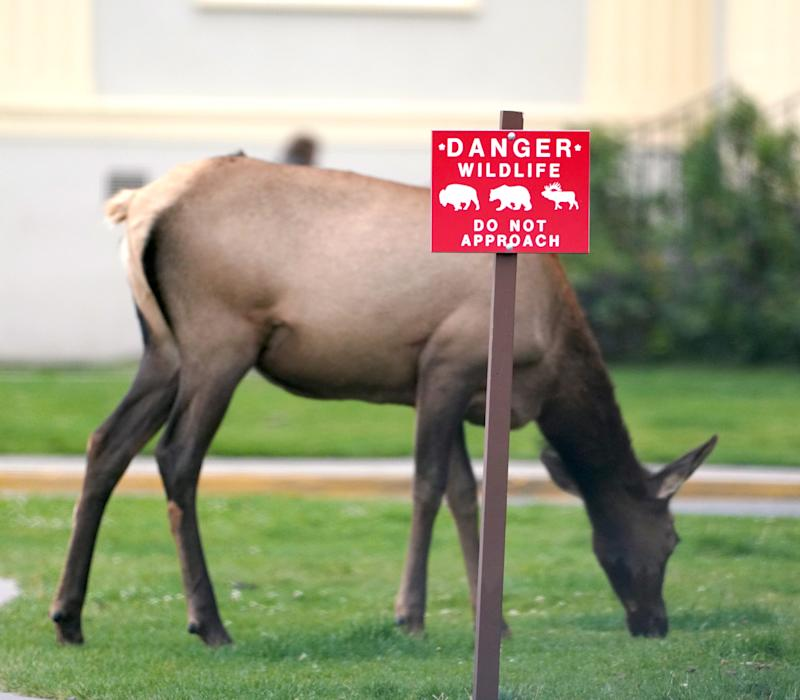 A cow elk grazes on grass in Mammoth Hot Springs at Yellowstone National Park.