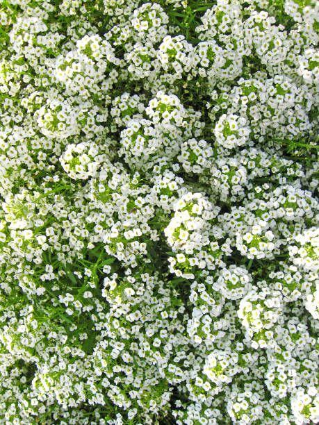 """<p>Pollinators adore the tiny blooms of sweet alyssum; you'll adore the honey-sweet scent. This annual looks lovely cascading from containers, window boxes, and hanging baskets, or tucked into a rock garden as a flowering ground cover. Sweet alyssum likes full to part sun and handless a light frost, so you'll enjoy abundant flowers all season long. </p><p><a class=""""link rapid-noclick-resp"""" href=""""https://www.provenwinners.com/plants/lobularia/white-knight-sweet-alyssum-lobularia-hybrid"""" rel=""""nofollow noopener"""" target=""""_blank"""" data-ylk=""""slk:SHOP SWEET ALYSSUM"""">SHOP SWEET ALYSSUM</a></p>"""