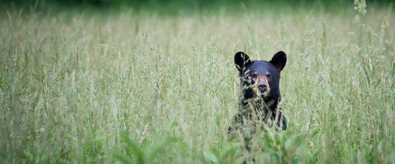 Black Bear in Cade's Cove, Great Smoky Mountains