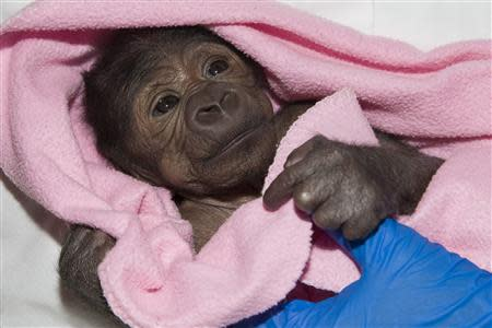 A baby gorilla suffering from pneumonia is seen in San Diego, California, in this March 13, 2014 handout photo courtesy of the San Diego Zoo. REUTERS/San Diego Zoo/Handout via Reuters