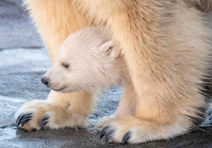 A polar bear cub walks with its mother Nora during its first public appearance at the Schoenbrunn zoo in Vienna, Austria.