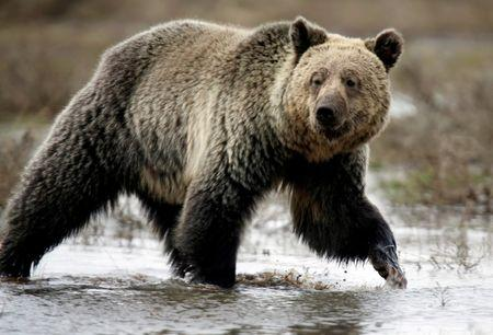 FILE PHOTO: A grizzly bear roams through the Hayden Valley in Yellowstone National Park in Wyoming