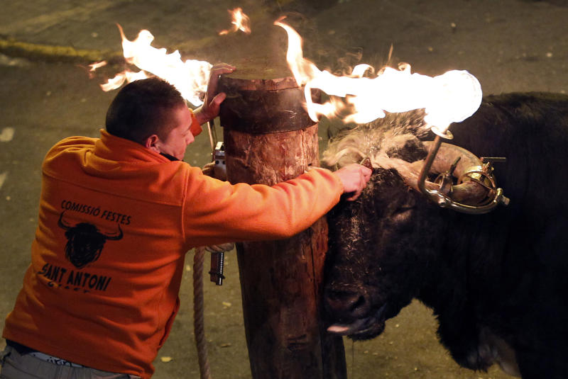 A reveler releases a bull with flaming horns during a festival in honor of Saint Anthony, the patron saint of animals, in the streets of Gilet, a town near Valencia, Spain, in the early hours of  Sunday, Jan. 15, 2012. A flaming-horned bull trampled and fatally gored a man early Saturday Jan. 21, 2012, during a festival in eastern Spain, an official said. Large balls of flaming wax are traditionally affixed to the beasts' heads before they are let loose to rampage through squares and narrow streets in such festivals. (AP Photo / Alberto Saiz)