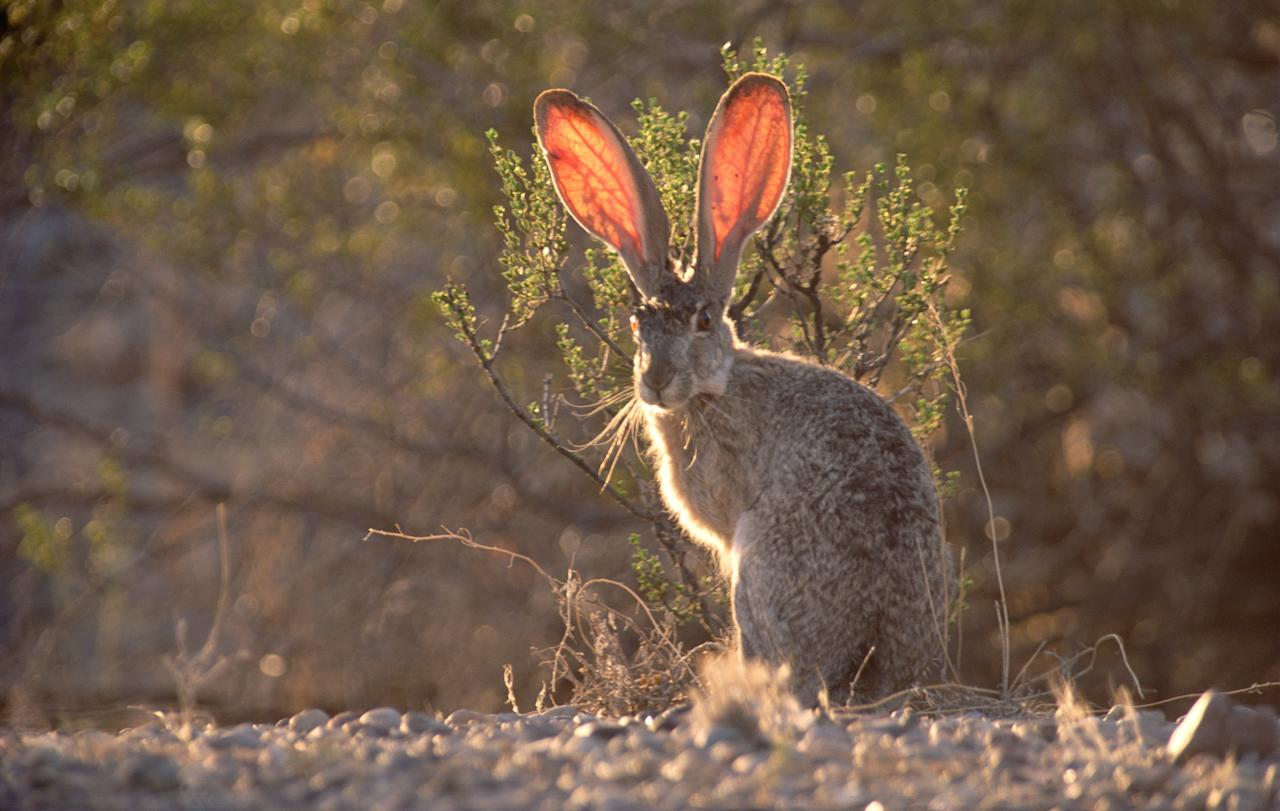 """With outsized ears, the Black-tailed Jackrabbit is very distinctive. In addition to ensuring an extremely good sense of hearing, large ears also act as a cooling system. Heated blood circulates through the thin ear tissue and cools as it does so. Image courtesy of <a href=""""http://www.amazon.com/Desert-James-Parry/dp/1847329144/ref=sr_1_3?s=books&ie=UTF8&qid=1317233972&sr=1-3"""">""""The Desert"""" by James Parry (Carlton Books)</a>."""