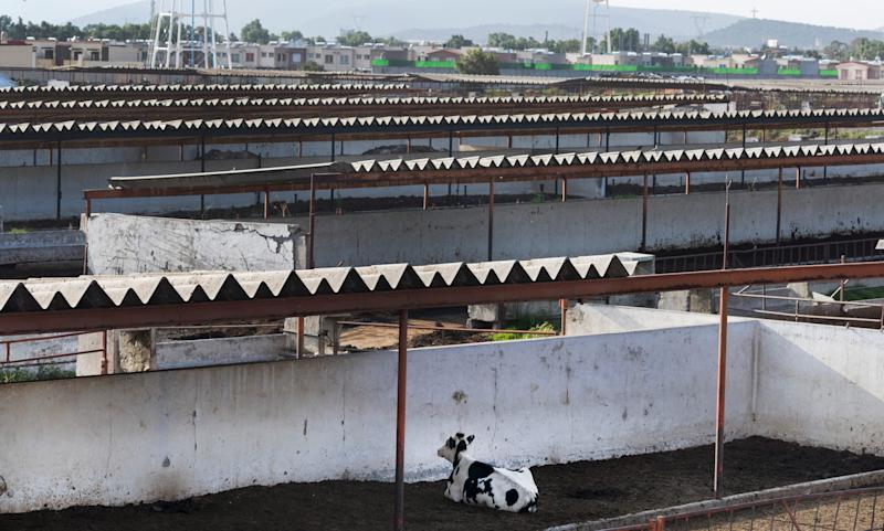 A cow rests in an empty breeding center in Tizayuca, Mexico. The center is part of a dairy farm complex north of Mexico City.
