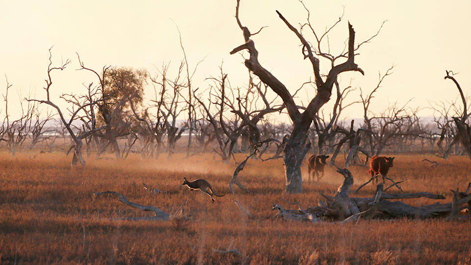 Against a dry landscape, a kangaroo can be seen hopping past cattle.