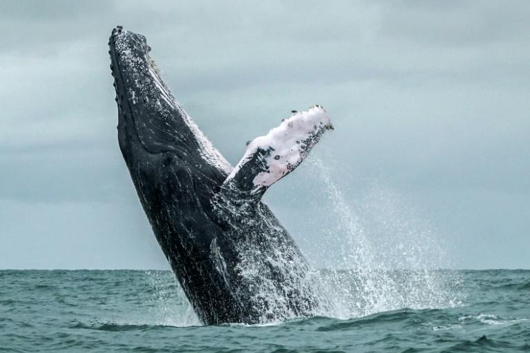 """Brazil is trying to rally anti-whaling nations behind a """"Florianopolis Declaration,"""" which states that commercial whaling is no longer a necessary economic activity"""
