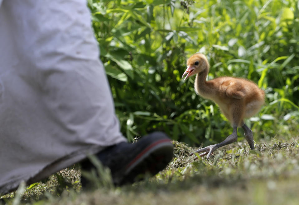"""FILE - In this June 21, 2018 file photo, a recently hatched endangered whooping crane chick follows a keeper wearing a """"crane suit,"""" to resemble an adult endangered whooping crane so the chick doesn't view humans as its flock at Audubon Nature Institute's Species Survival Center in New Orleans. The center usually """"costume-raises"""" a number of chicks. But because the coronavirus pandemic has cut money and staffing it will do so in 2020 only if adult whoopers at the center are doing poorly at raising chicks. (AP Photo/Gerald Herbert, File)"""