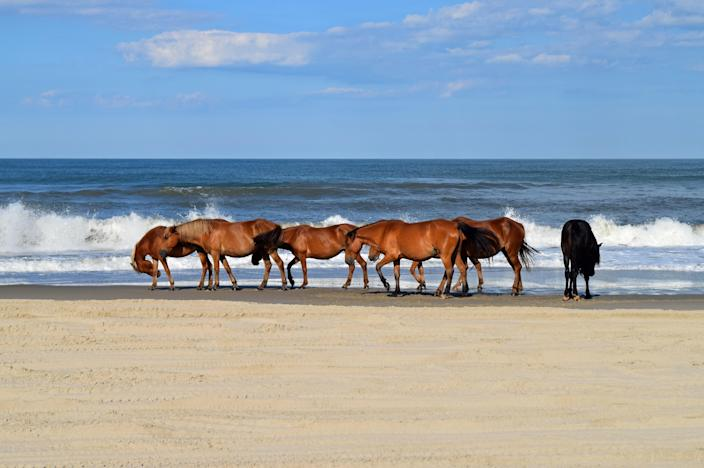 """On the northern stretch of the Outer Banks, just south of the Currituck National Wildlife Refuge, Corolla offers wide-open beaches where wild horses have been running free for over 400 years. With plenty of activities like golfing, <a href=""""https://www.cntraveler.com/story/kayaking-gear-accessories?mbid=synd_yahoo_rss"""" rel=""""nofollow noopener"""" target=""""_blank"""" data-ylk=""""slk:kayaking"""" class=""""link rapid-noclick-resp"""">kayaking</a>, sightseeing at spots like the Currituck Beach Lighthouse, and plentiful lodging options, it's easy to unwind and relax here. Our tip to you: Leave it to the professionals and book a private <a href=""""https://wildhorsetour.com/"""" rel=""""nofollow noopener"""" target=""""_blank"""" data-ylk=""""slk:beach-vehicle tour"""" class=""""link rapid-noclick-resp"""">beach-vehicle tour</a> to spot those aforementioned horses."""