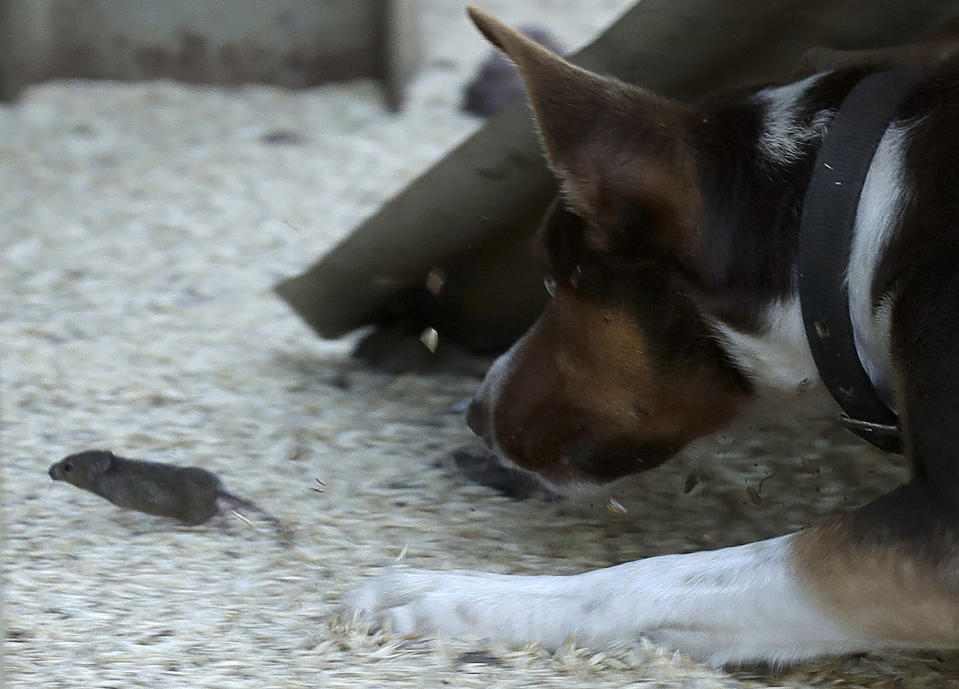 """Hank, a working dog turned mouser, chases a mouse on a farm near Tottenham, Australia, on May 19, 2021. Vast tracts of land in Australia's New South Wales state are being threatened by a mouse plague that the state government describes as """"absolutely unprecedented."""" Just how many millions of rodents have infested the agricultural plains across the state is guesswork. (AP Photo/Rick Rycroft)"""