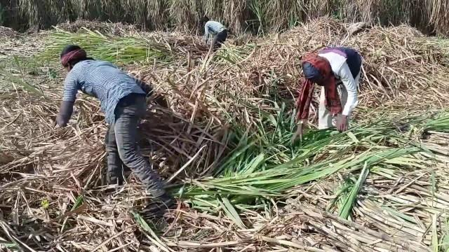 Cane sugar farmers in the Philippines
