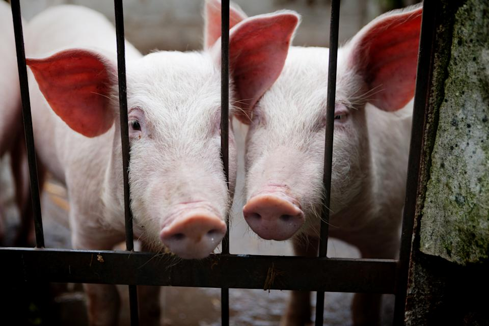 Cute young pigs, or weaners, poke their snouts through a barred gate. They may be begging for food or freedom.