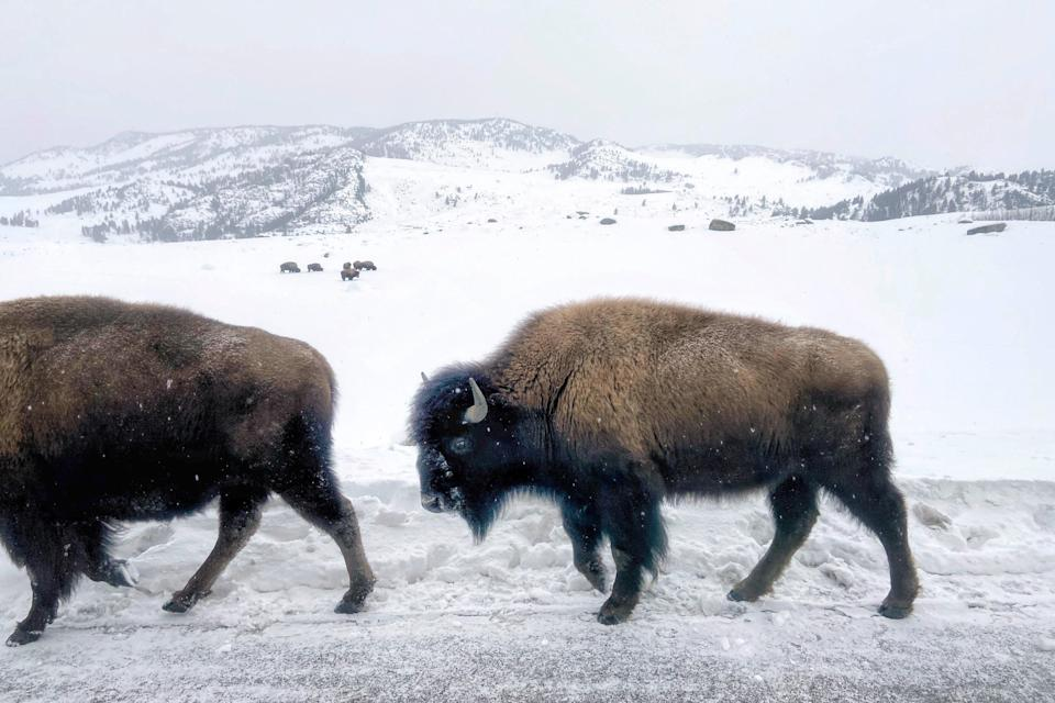 "<p><strong>Best thing to do in Wyoming:</strong> Skip the crowds at Yellowstone by visiting in the winter</p> <p>It's no secret that <a href=""https://www.cntraveler.com/story/what-yellowstones-phased-reopening-means-for-summer-travel?mbid=synd_yahoo_rss"" rel=""nofollow noopener"" target=""_blank"" data-ylk=""slk:Yellowstone National Park"" class=""link rapid-noclick-resp"">Yellowstone National Park</a> is one of the most magnificent sites in the entire country—but all that beauty tends to get dampened during the summer, when hoards of tourists swarm the park, slowing down traffic and blocking your views with their cameras. We recommend paying a visit between the months of November and February, when there are virtually zero crowds, but an entirely new (and beautiful) light is shed on the park. There are more wildlife viewing opportunities, the deep blues and oranges of the thermal features pop against the white snow, and the steam billowing from the hot springs covers the landscape with an ethereal mist. Plan to stay for a few days at the <a href=""https://www.yellowstonenationalparklodges.com/lodgings/hotel/old-faithful-inn/"" rel=""nofollow noopener"" target=""_blank"" data-ylk=""slk:Old Faithful Inn"" class=""link rapid-noclick-resp"">Old Faithful Inn</a> (the only property open during the winter), complete with a cracking lobby fireplace and complimentary cookies and hot cider every afternoon.</p>"