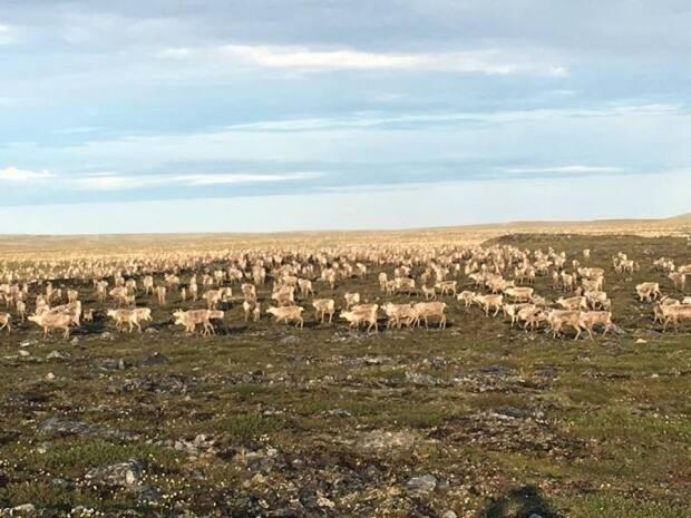 Migrating caribou near Meliadine Mine will be the subject for a new working group between the Nunavut government and the Kivalliq Wildlife Board. Dustin Ilnik took this shot of a herd near Rankin Inlet, Nunavut in 2017.  (Submitted by Dustin Ilnik - image credit)